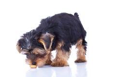 Sniffing assentado do filhote de cachorro de yorkshire foto de stock royalty free