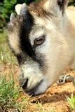 Sniffing da cabra do pigmeu Foto de Stock