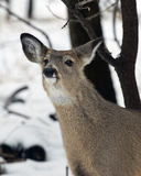 Sniffing Deer Royalty Free Stock Photography