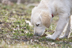 Sniffing Dog. A puppy dog Golden retriever snuffing in the park Royalty Free Stock Photos