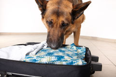 Sniffing dog chceking luggage Royalty Free Stock Photos