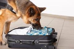 Sniffing dog chceking luggage royalty free stock photography