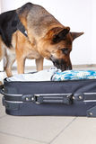 Sniffing dog chceking luggage Stock Photo