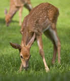 Sniffing fawn Royalty Free Stock Photo