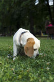 Sniffing female beagle in a city park Royalty Free Stock Image