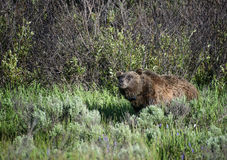 Sniffing Grizzly. A grizzly sniffs the air while strolling through a meadow in Grand Teton national park during summer Royalty Free Stock Image