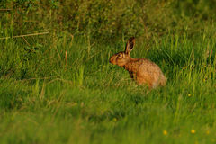 Sniffing Hare. This hare i can photograph in the morning in the grassland royalty free stock photos