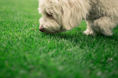 Sniffing havanese dog. A havanese dog sniffin on gras Stock Photo