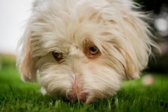 Sniffing havanese dog. A havanese dog sniffin on gras Stock Images