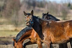 Sniffing horse Royalty Free Stock Photography