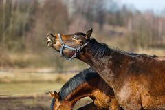 Sniffing horse Royalty Free Stock Image