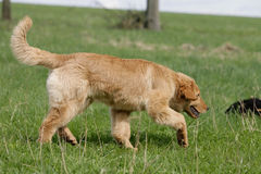 Sniffing hovawart dog. Portrait of a blond sniffing hovawart dog royalty free stock images
