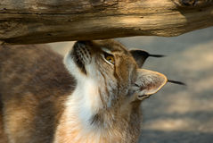 Sniffing lynx Royalty Free Stock Photography