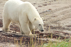 Sniffing Polar Bear at the beach Stock Photography