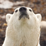 Sniffing Polar Bear Portrait Royalty Free Stock Images