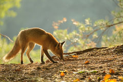 Sniffing red fox in beauty autumn backlight Royalty Free Stock Photography