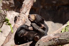 Sniffing sun bear Royalty Free Stock Photo