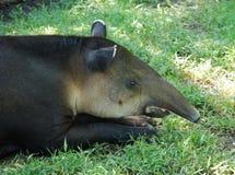 Sniffing Tapir Stock Photo