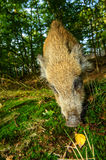 Sniffing wild boar juvenile from closeup wide angle view Stock Photo