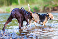 Sniffles щенка Лабрадора на задней части бигля Стоковое Изображение
