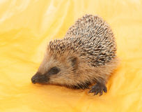 Sniffs hedgehog Royalty Free Stock Photography