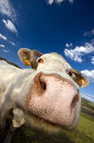 Snifing cow royalty free stock image