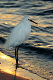 snöig solnedgång för egret Fotografering för Bildbyråer
