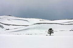 snöig tree för fält Royaltyfri Bild