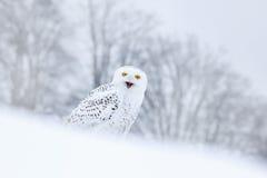 Snöig ugglasammanträde för fågel på det insnöat livsmiljön, vinterplats med snöflingor i vind Royaltyfria Foton