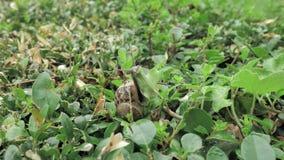 snigel för 4 K i naturlig miljö bland gräsplansidorna, når regn, flyttning och att ha sovit arkivfilmer