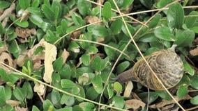 snigel för 4 K i naturlig miljö bland gräsplansidorna, når regn, flyttning och att ha sovit stock video