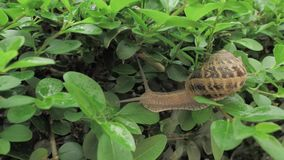 snigel för 4 K i naturlig miljö bland gräsplansidorna, når regn, flyttning och att ha sovit lager videofilmer