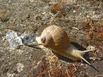 Snigel och dess avfalls på torr jordning Royaltyfria Foton