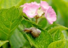 Snigel och vanlig hortensia Fotografering för Bildbyråer