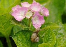 Snigel och vanlig hortensia Arkivfoton