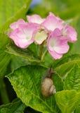 Snigel och vanlig hortensia Arkivbilder
