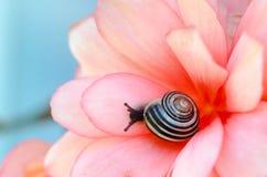 Snigel på begonia royaltyfria foton