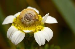 Snigel på blomman Arkivbild