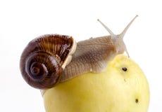 Snigel på ett äpple Arkivfoto