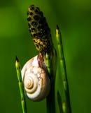 Snigel på ett grässugrör Royaltyfri Foto