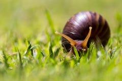 Snigel på grässlutet upp Royaltyfri Foto