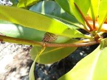 Snigel på mangrovestammen Arkivfoton