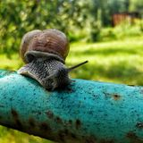 Snigel på röret i trädgården Royaltyfria Foton