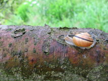 Snigel som kryper ner en trädstam arkivfoto