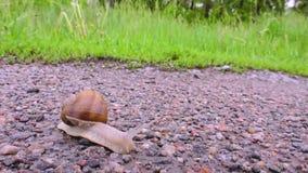Snigel som kryper på asfaltvägen på bakgrunden av gräs lager videofilmer