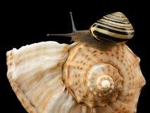Snigel som kryper på en havscockleshell Royaltyfri Fotografi