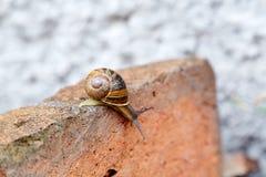 Snigel som ner klättrar en tegelsten Arkivfoton