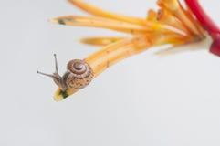 Snigelkrypande på blomman Arkivfoto