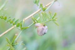 Snigelkrypning på växten, pastellfärgade färger royaltyfri fotografi