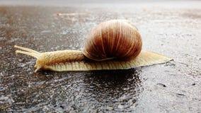 Snigeln korsar gatan på våt asfalt efter regn stock video